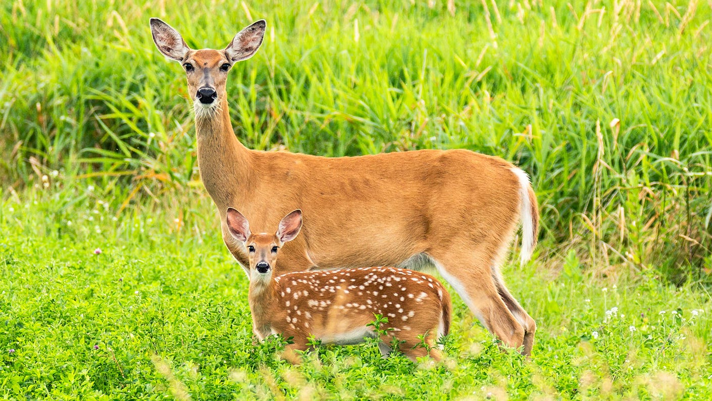 Doe and fawn in a field.
