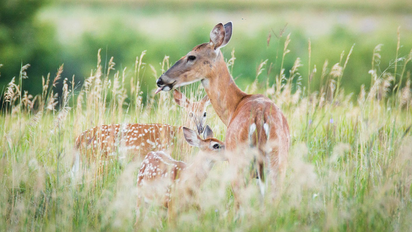 Doe with fawn standing in tall weeds.