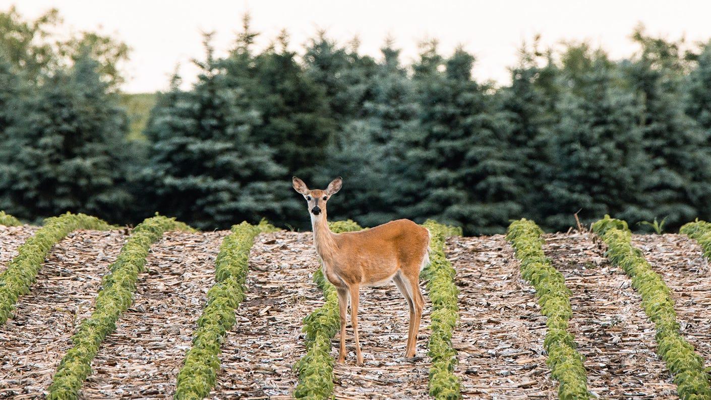 Doe standing in a crop field.