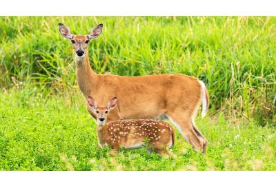 Whitetail Doe Nutrition and Fawn Survival