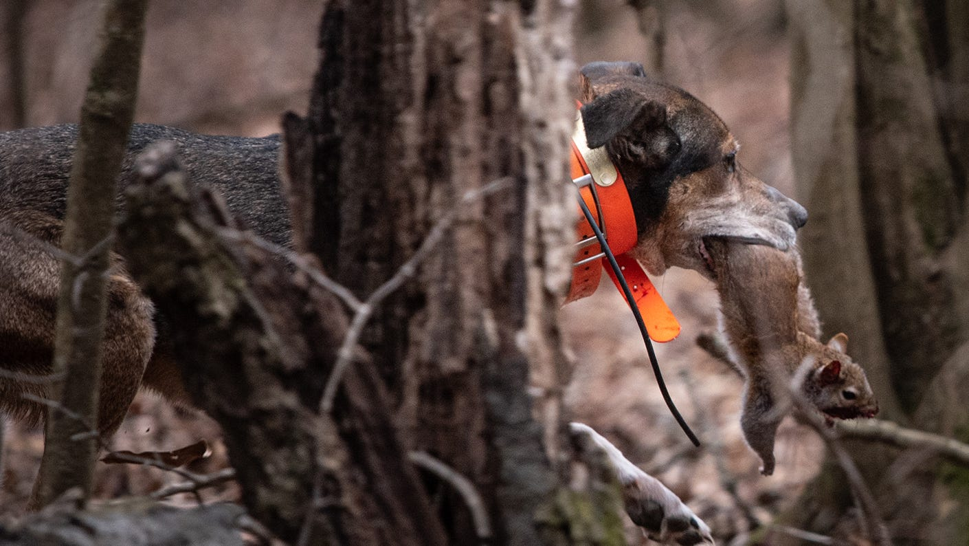 Hunting dog with squirrel in mouth.